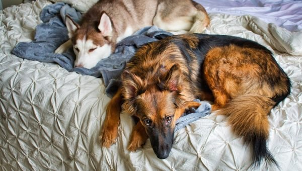 Dogs on bed