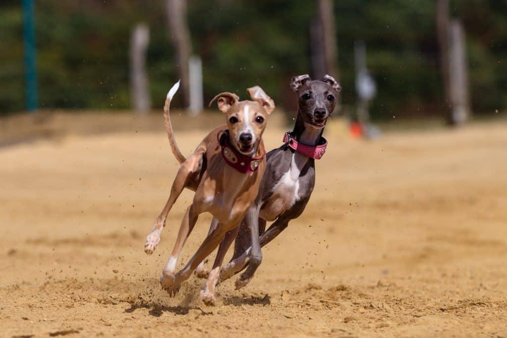 två italienska vinthundar som springer
