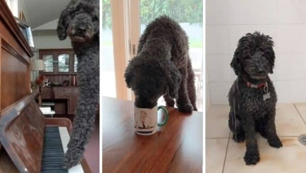 Stylin' Poodle Sings Along to Dolly Parton in Truly Hilarious Little Video