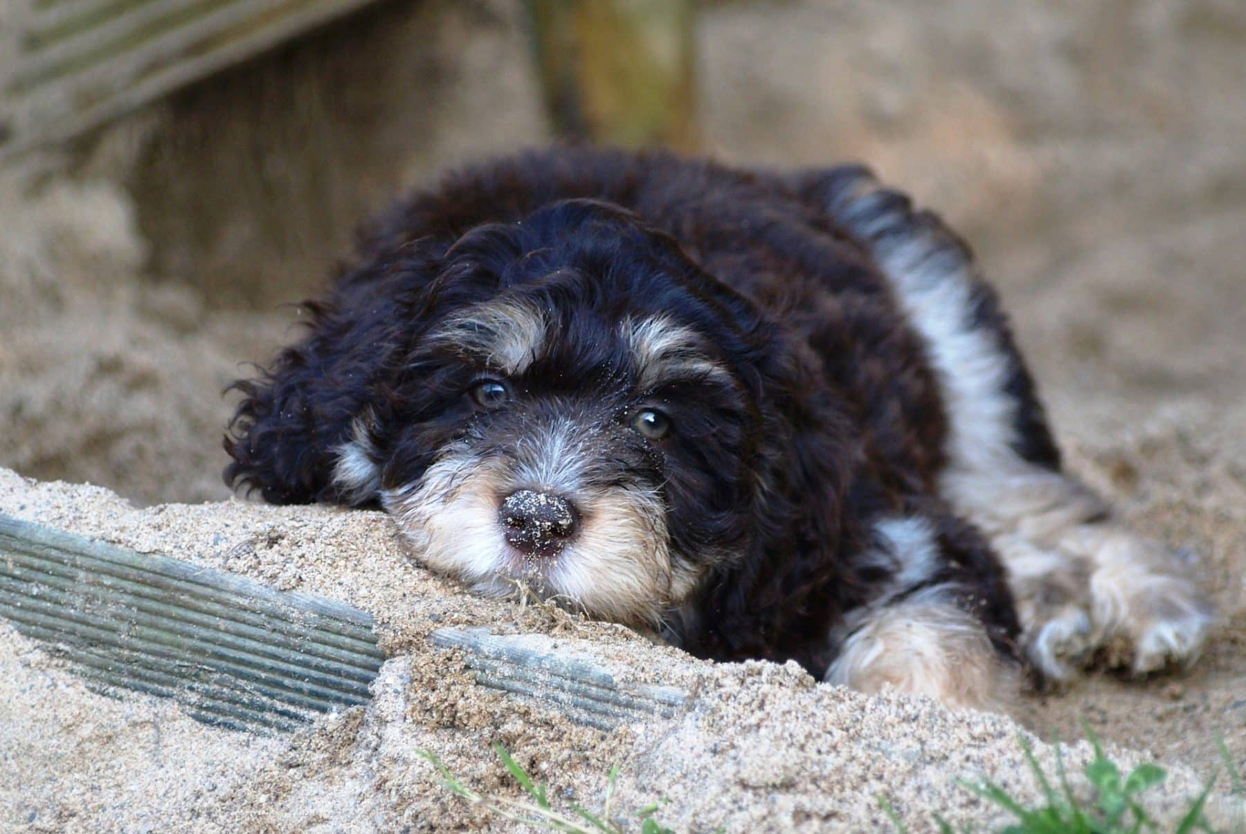 12 Absolutely Adorable Dog Breeds With Curly Hair The Dog