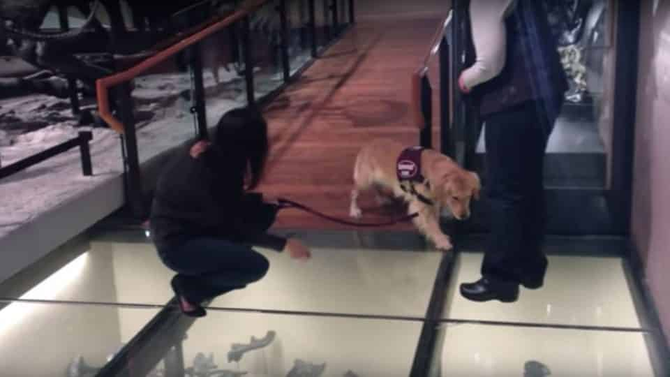 Just Watch This Service Puppy Navigate A Glass Floor For