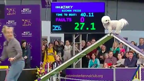 Adorable Bichon Conquers Westminster Agility Course on Style Points Alone