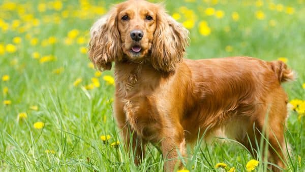 Cocker Spaniel Grooming: The Essential Guide with Pictures of Haircut Styles