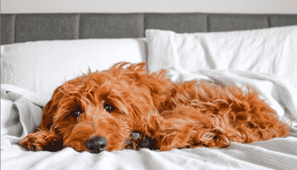 9 Things Only Irish Doodle People Understand The Dog