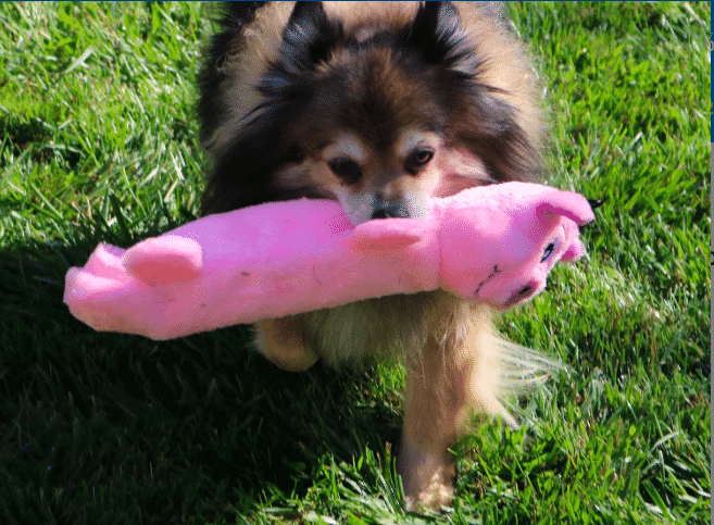6 Best Pig Dog Toys For 2019 With