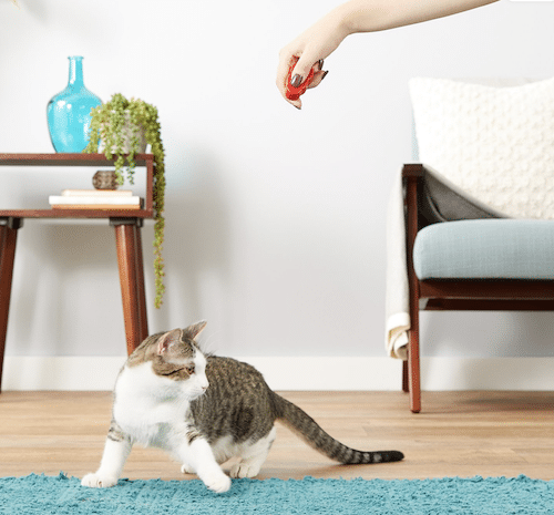 cat playing with Kong laser toy