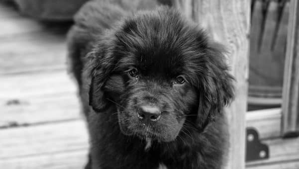 12 Newfoundland Dog Facts That Newfie Lovers Know by Heart
