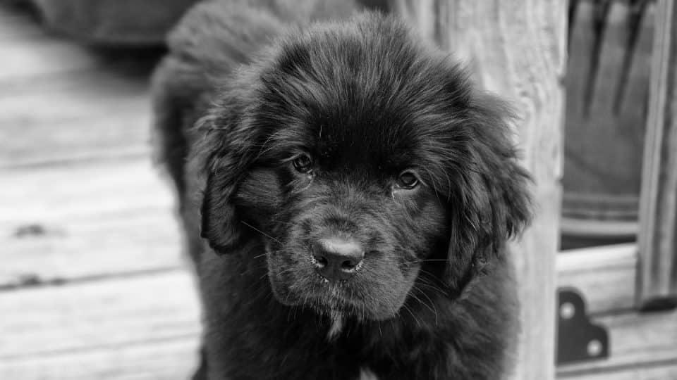 Black Newfie puppy