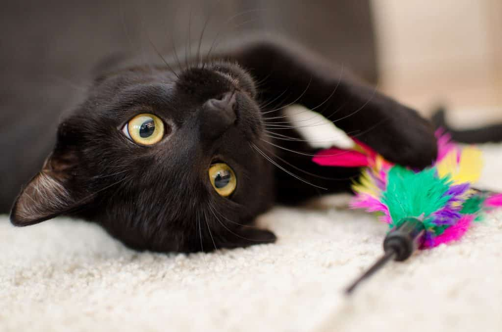 black cat looking at camera with toy representing best black cat names