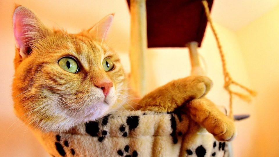 orange cat in cat furniture