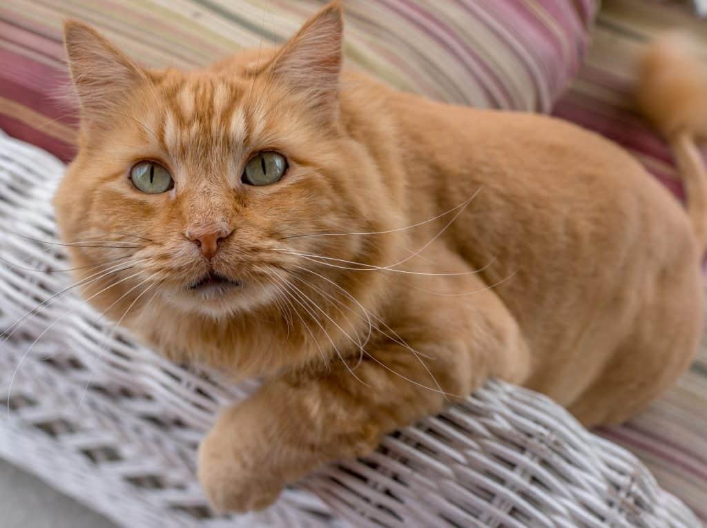 Orange Cat Names 100 Best Ginger Cat Names For 2019