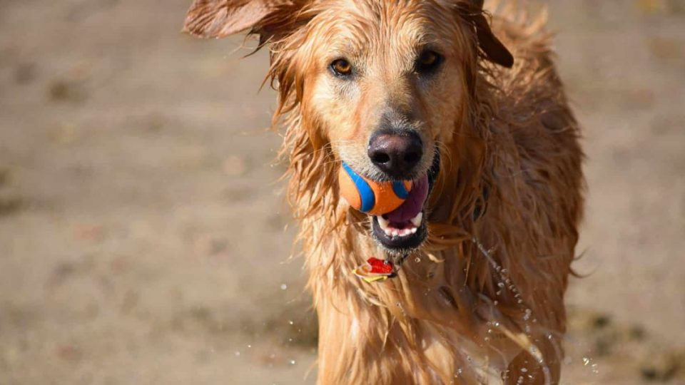 dog running on beach with ball toy