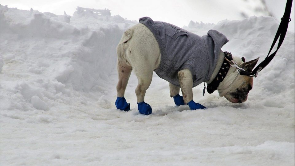 A dog in the slow, wearing dog boots