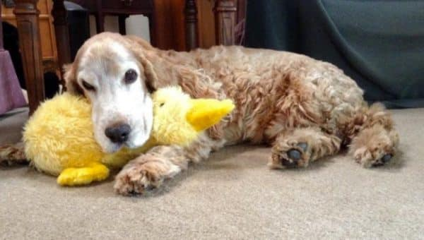 dog with duck toy in mouth