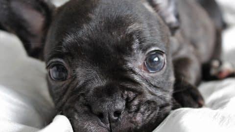 frenchie puppy gazinf pixabay