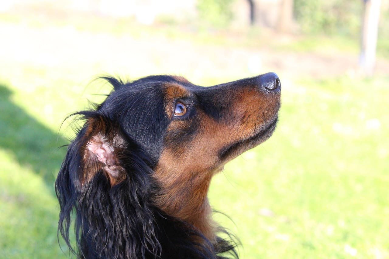 longhaired dachshund looking right pixabay