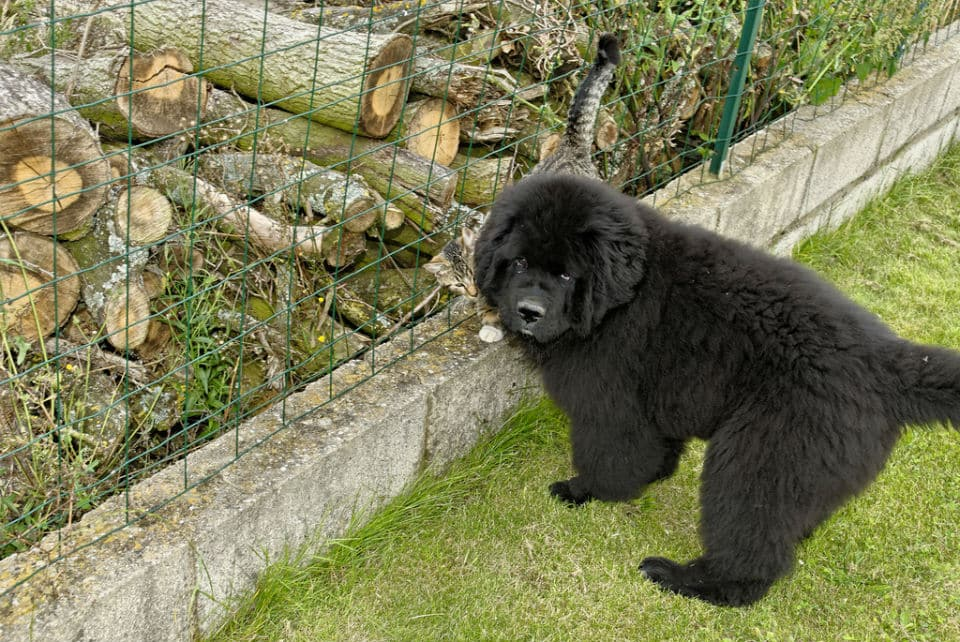 Newfie outside