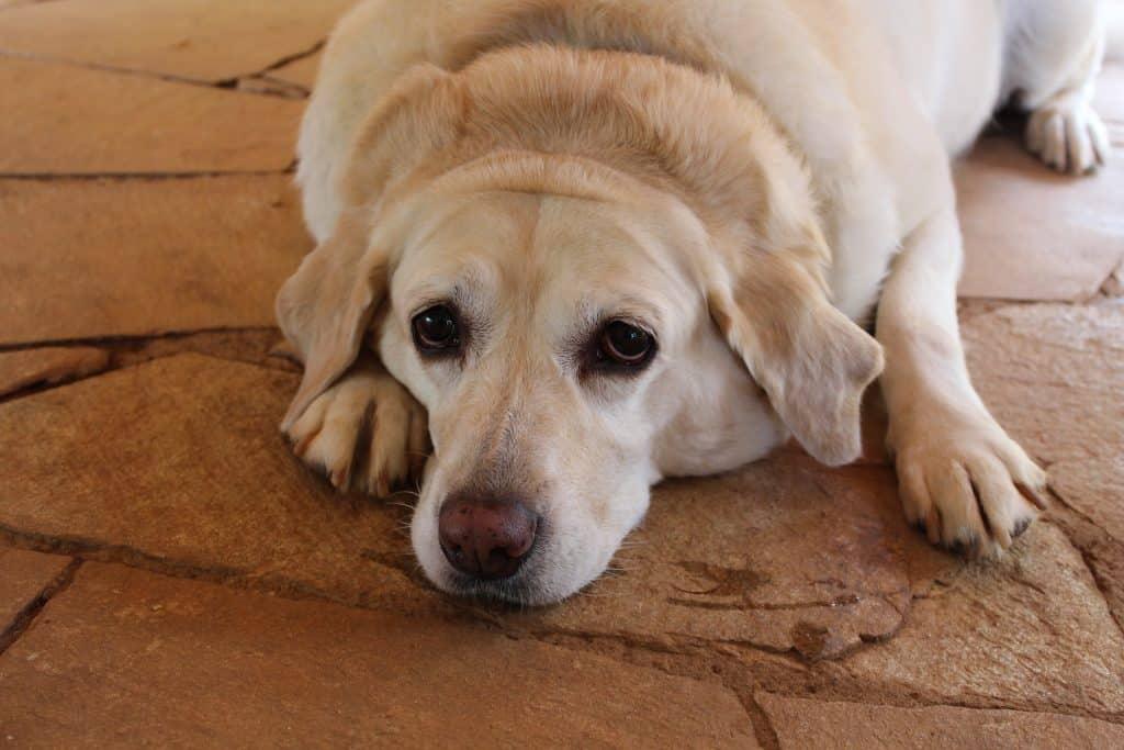 labrador lying on floor