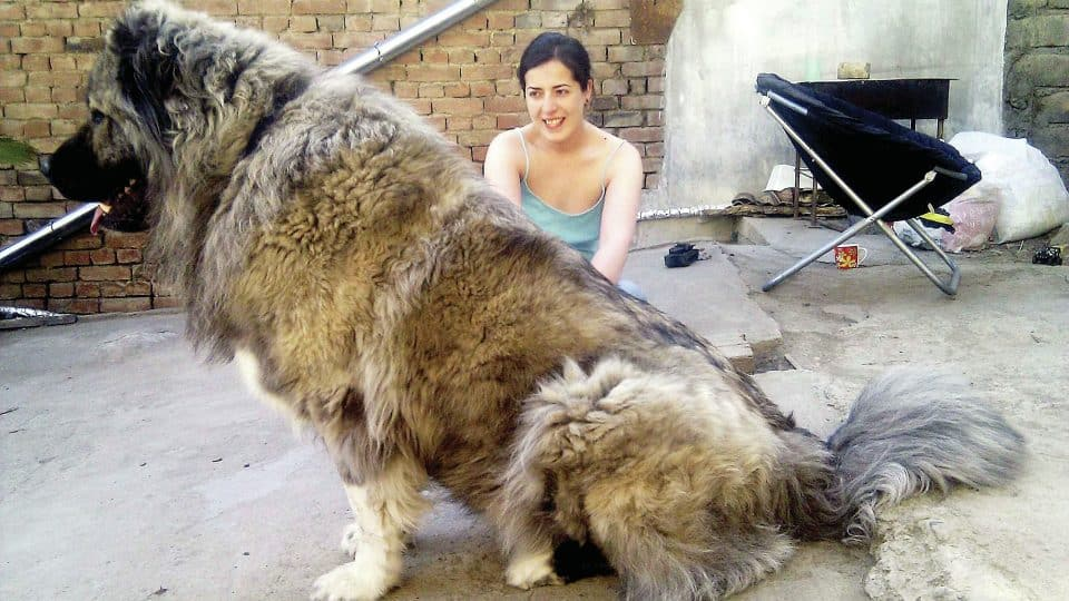 18 Giant Dog Breeds We Love The Worlds Biggest Dogs Revealed