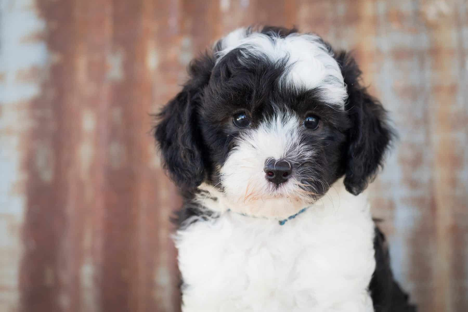9 Facts Only Sheepadoodle People Understand The Dog People By Rover Com