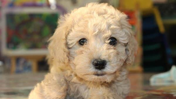 The Top 100 Most Popular Goldendoodle Names for 2019