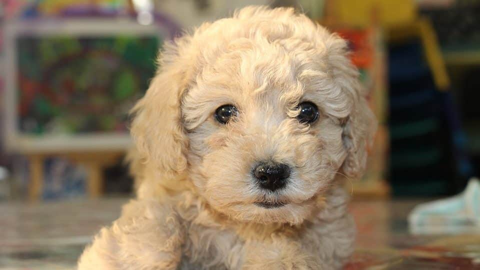 The Top 100 Most Popular Goldendoodle Names for 2019 | The