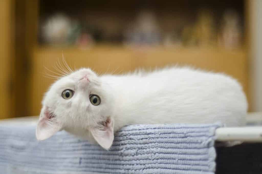 115 Best White Cat Names for 2019 | The Dog People by Rover com