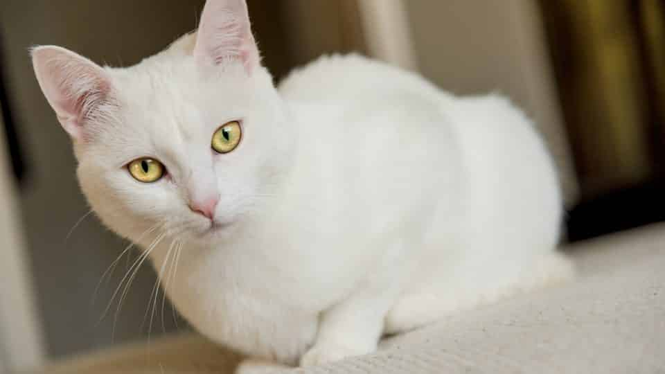 115 Best White Cat Names For 2019 The Dog People By