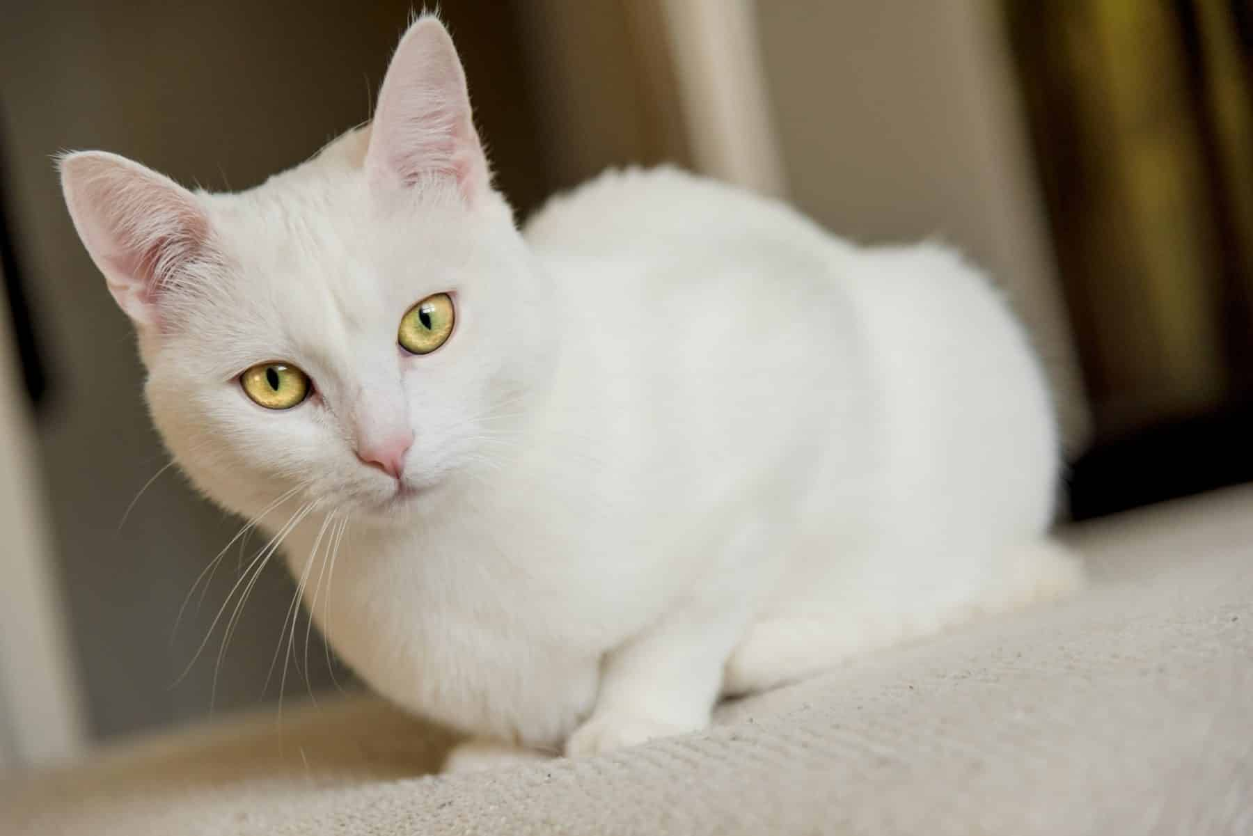 115 Best White Cat Names For 2019 The Dog People By Rover Com
