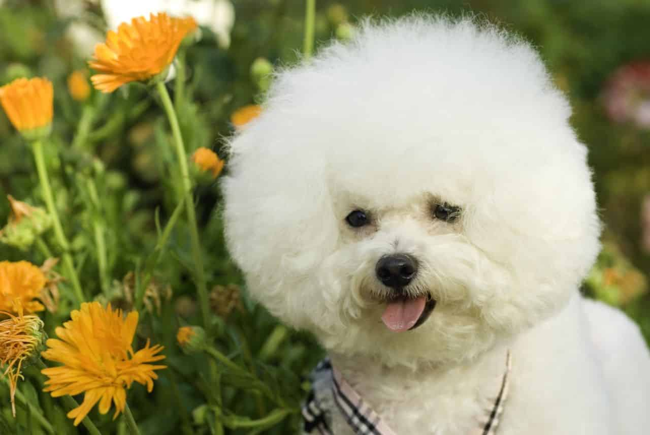 The Top 4 Bichon Frise Haircut Styles For 2019 The Dog People By Rover Com