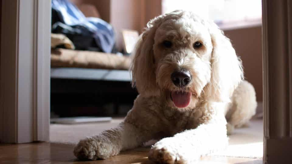 Goldendoodle Haircuts Goldendoodle Hairstyles For Your