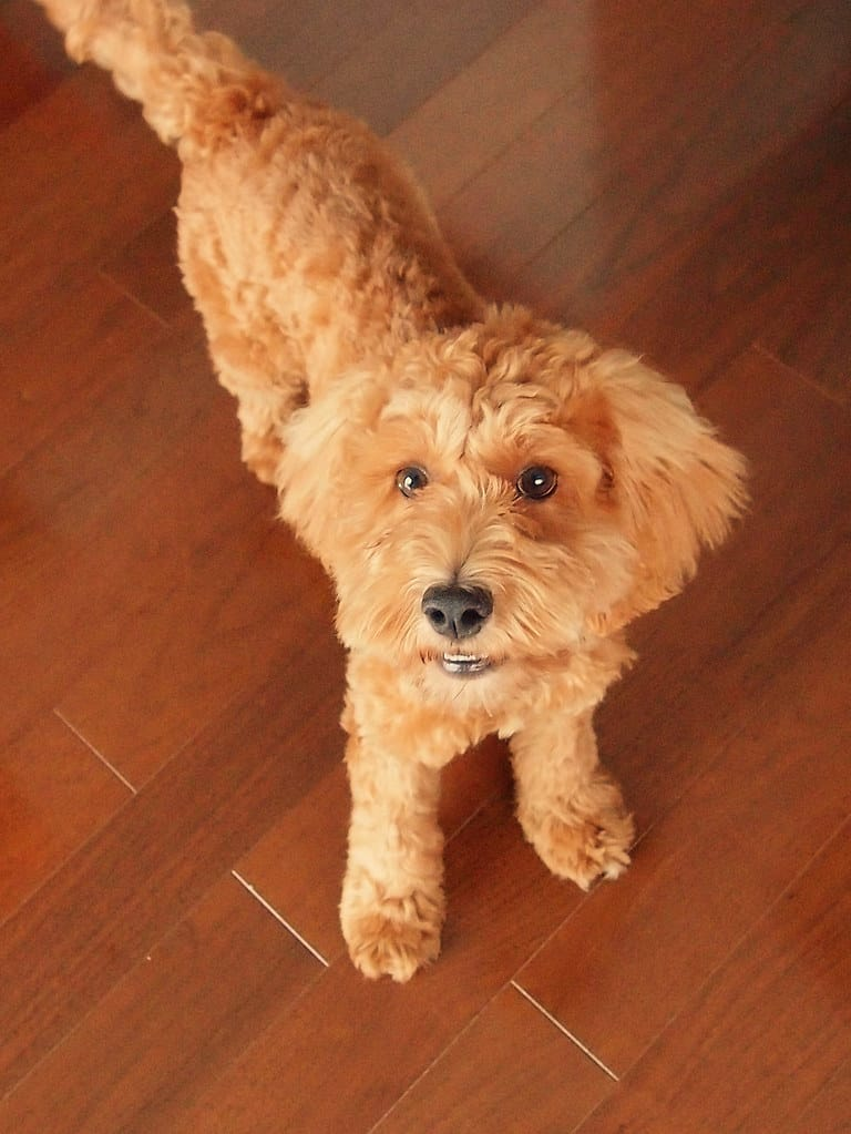 Top 4 Cockapoo Haircut Styles For 2019 The Dog People By