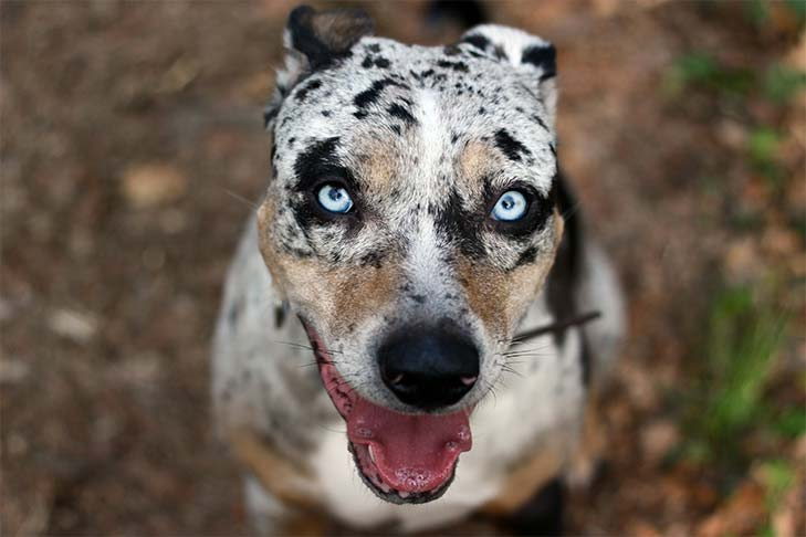 7 Things That Only Catahoula People Understand | The Dog People by
