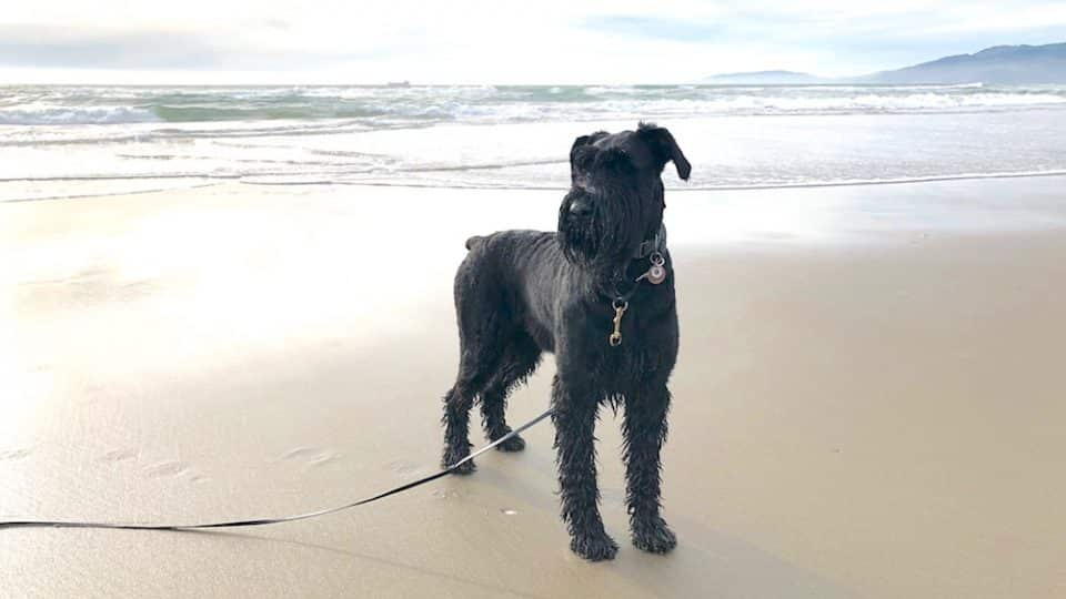 7 Things You Need To Know About Giant Schnauzers From Someone Who Loves Them The Dog People By Rover Com