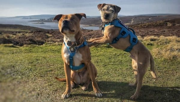 Blind Staffie and his Seeing Eye BFF are Taking the World by Storm