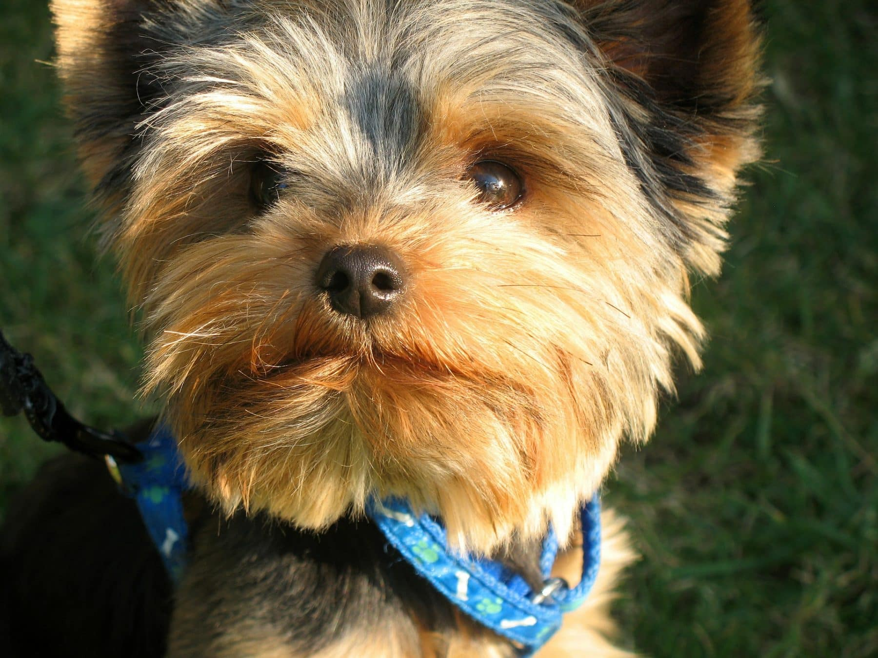 Top 12 Yorkie Haircut Styles for 12  The Dog People by Rover.com