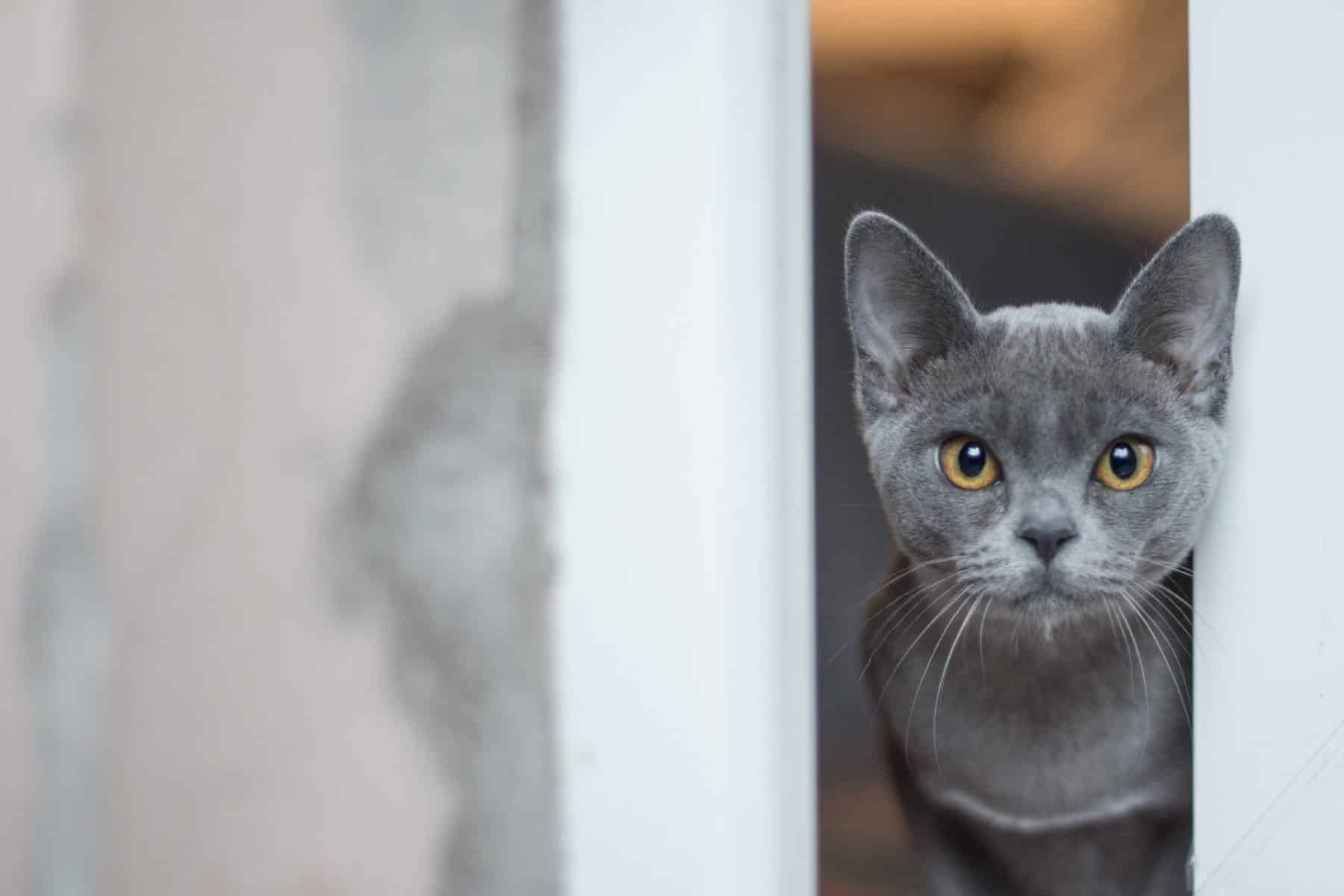 115 Best Gray Cat Names In 2020 For Your Silver Blue Or Lilac Kitty The Dog People By Rover Com