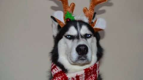 husky with annoyed dog face