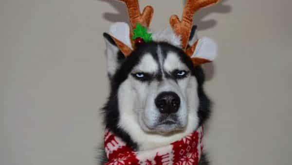 husky with annoyed dog face