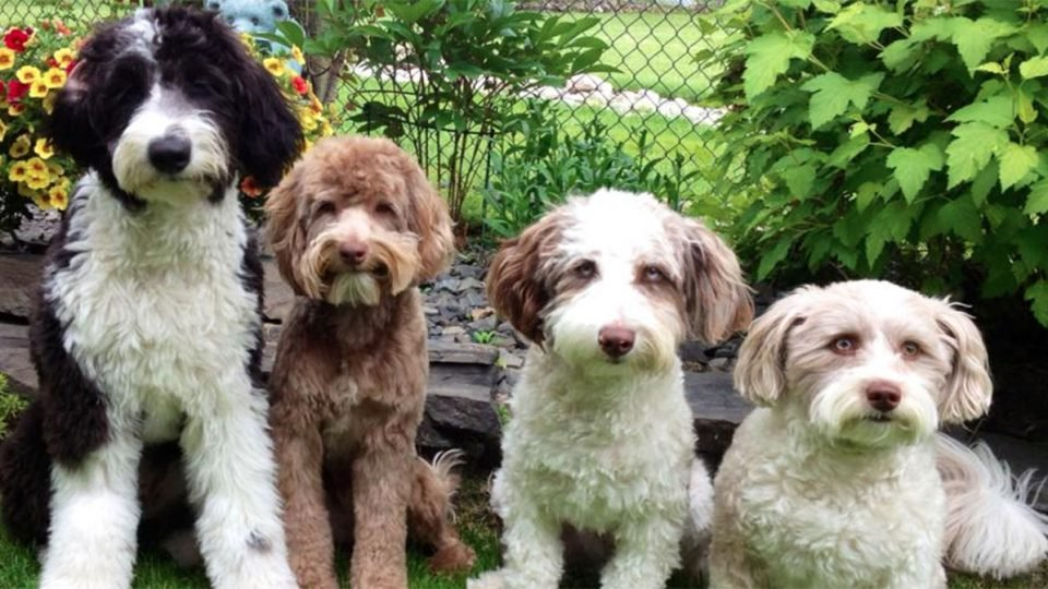 10 Things Only Aussiedoodle People Understand The Dog