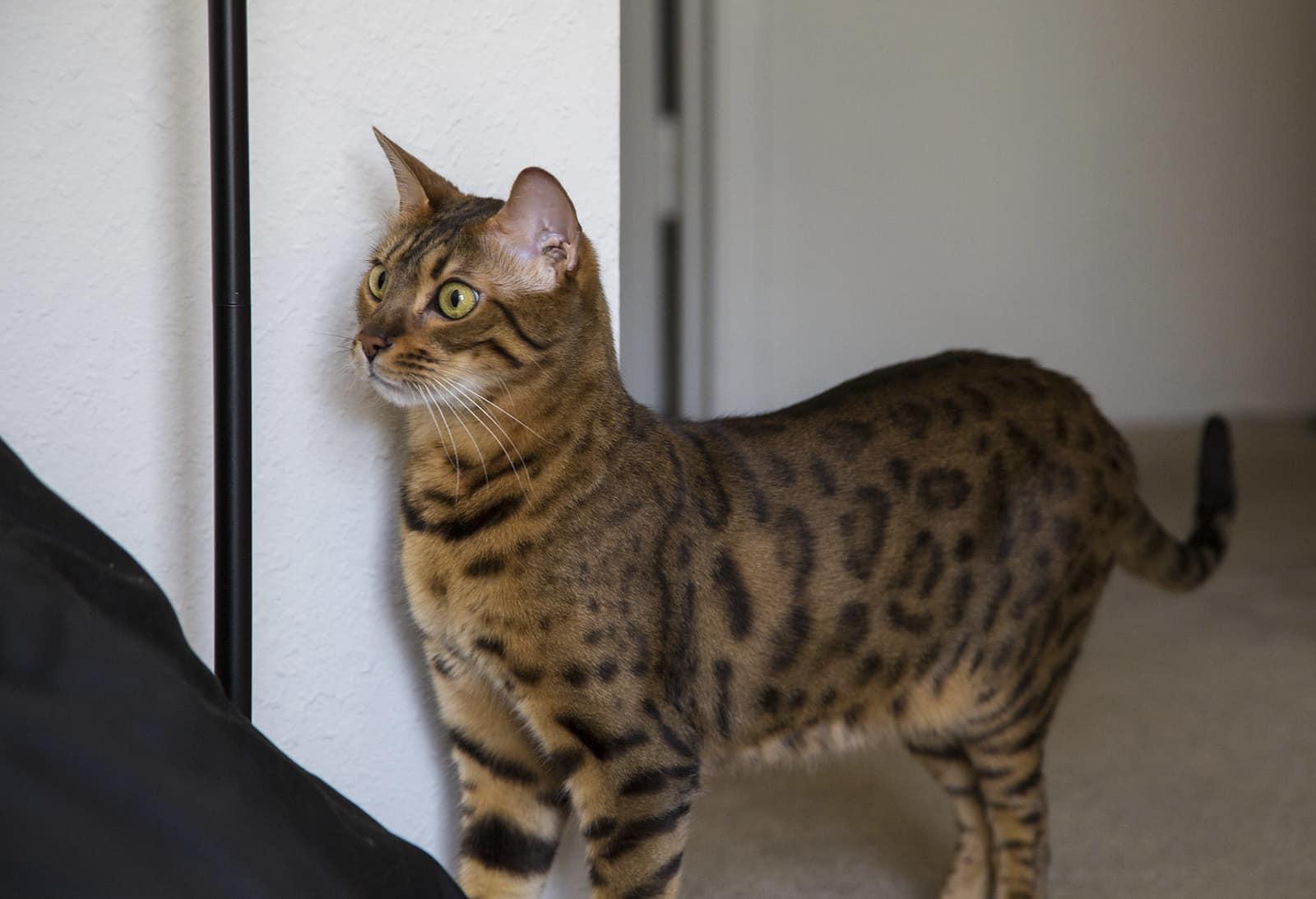 le bungale, un chat intelligent