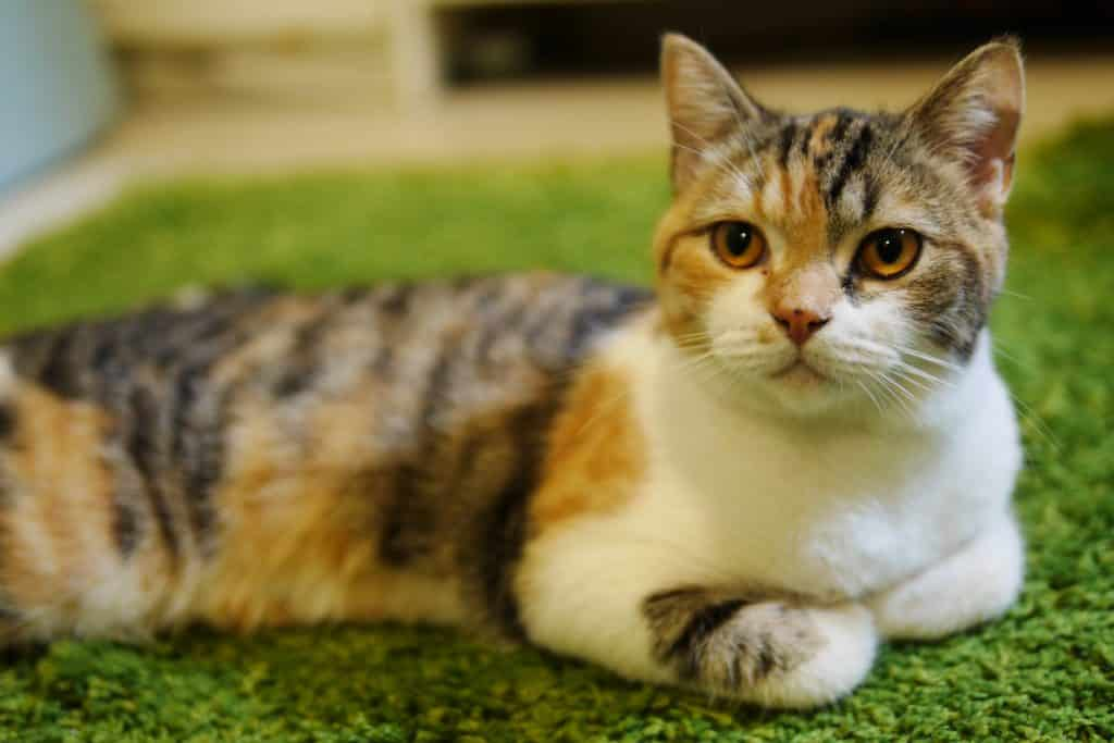 119 Best Calico Cat Names for 2019 with Rankings | The Dog