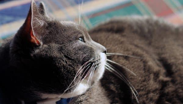 Closeup of fat cat