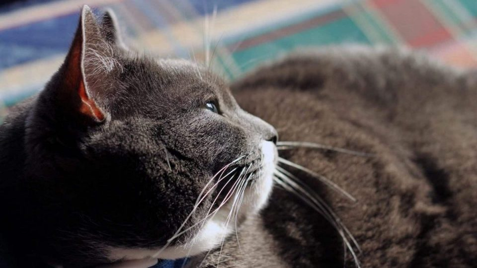 closeup of chubby cat