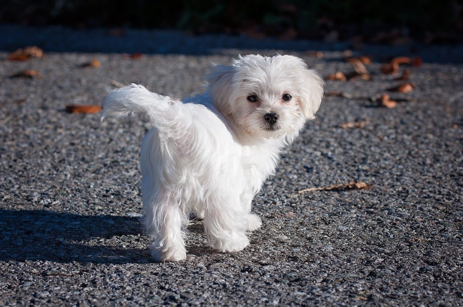 The Top 5 Maltese Haircut Styles For 2019 The Dog People By Rover Com