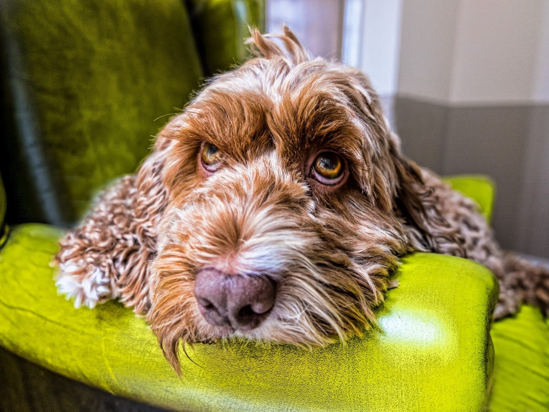 Top 4 Cockapoo Haircut Styles For 2019 The Dog People By Rover Com