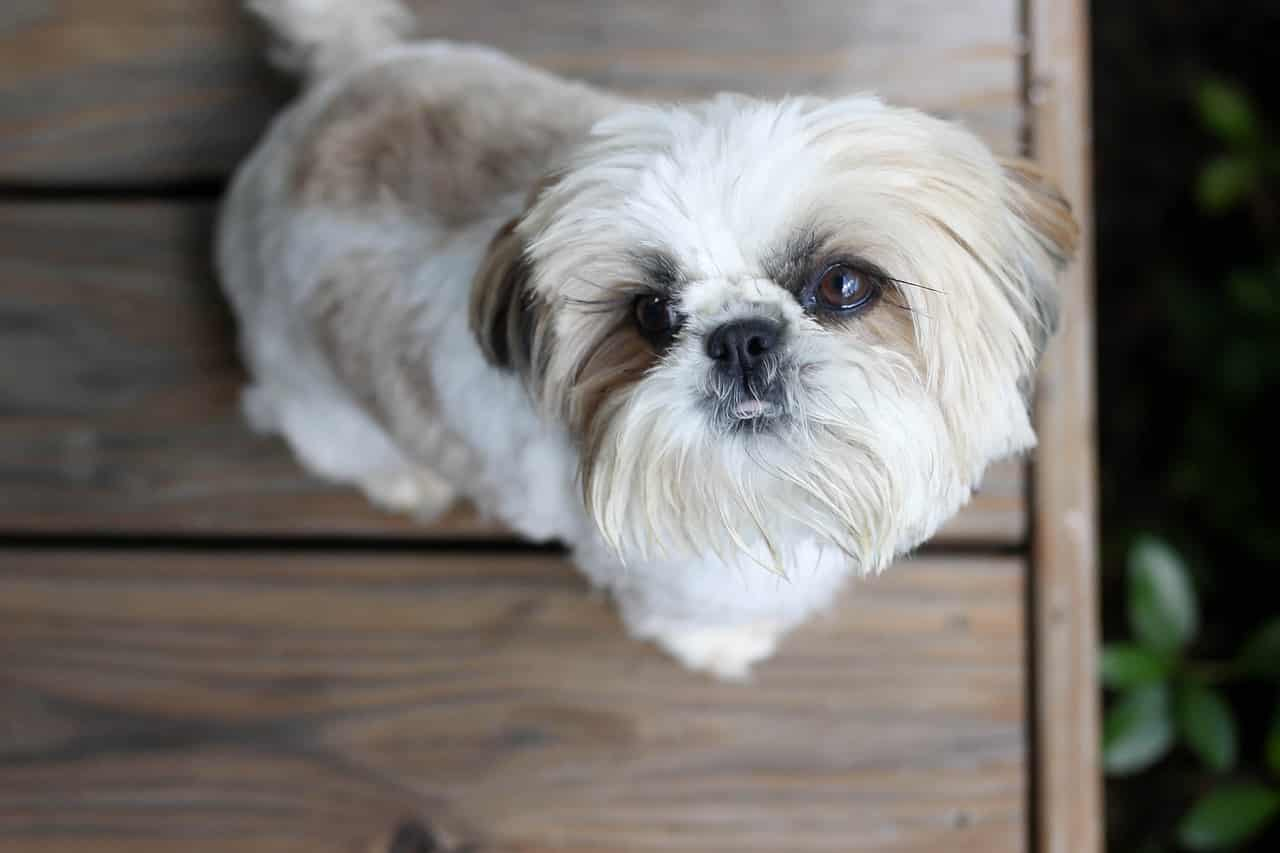 The Top 5 Shih Tzu Haircut Styles The Dog People By Rovercom