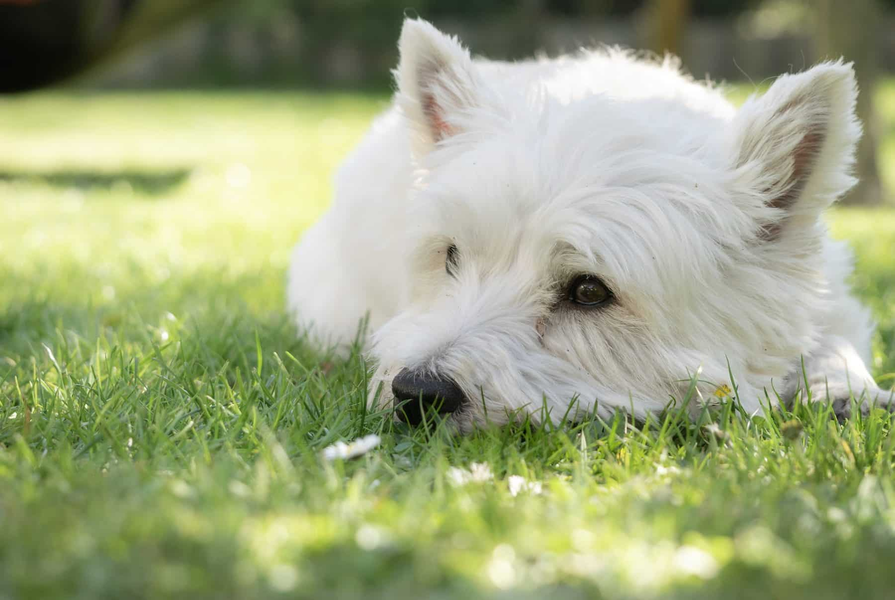 Rover Com Reviews >> Top 4 Westie Haircut Styles for 2019 | The Dog People by Rover.com
