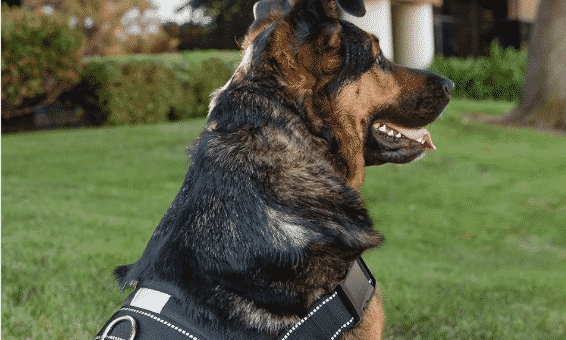 7 Best Harnesses for German Shepherds