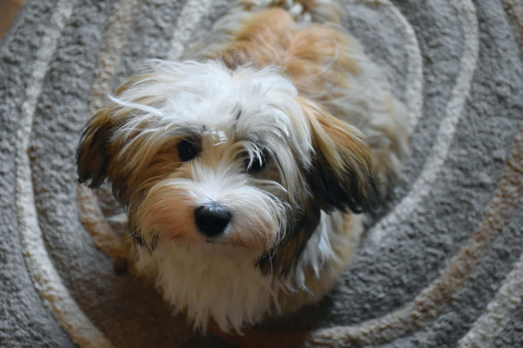 Top 10 Havanese Haircut Styles in 10  The Dog People by Rover.com